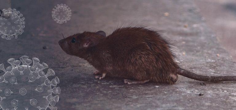 rodents in lockdown